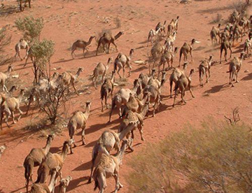 بحران شتر در استرالیا