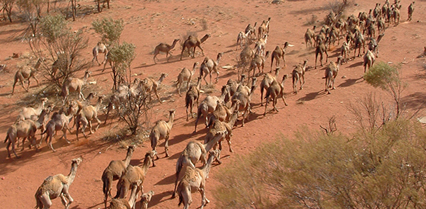 mob_of_feral_camels_in_central_australia