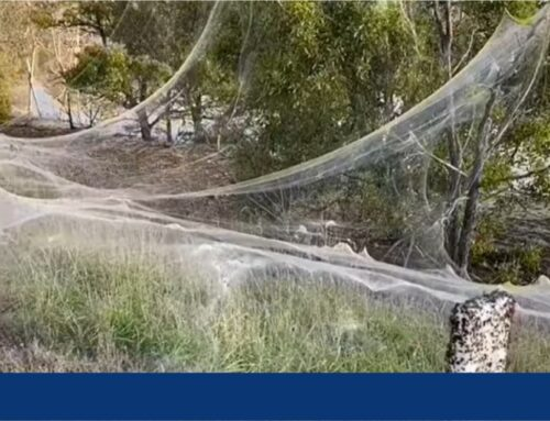 تار عنکبوت عجیب در ایالت ویکتوریا استرالیا